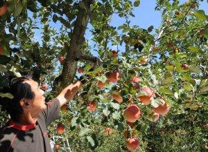 奥久慈りんご園 りんご完熟