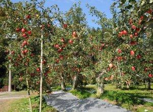 奥久慈りんご園 りんご木々