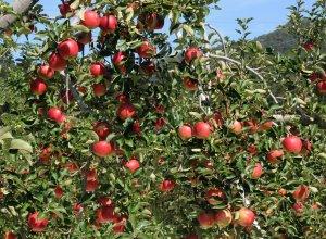 奥久慈りんご園 りんごの木
