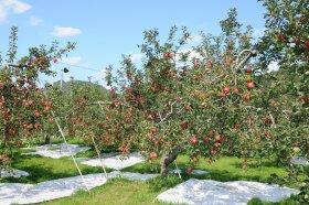 奥久慈りんご園 りんご木