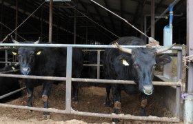 橋本畜産 常陸牛