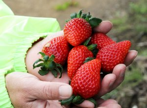 原田さんのイチゴ 画像