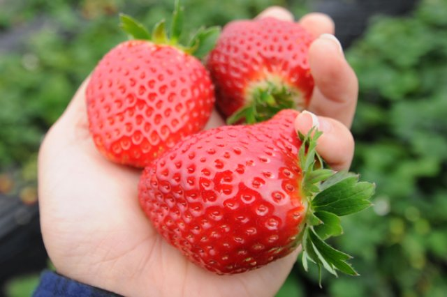 八木岡さんのイチゴ