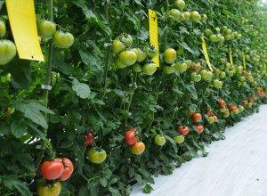 スーパーフルーツトマト 管理