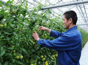 スーパーフルーツトマト栽培