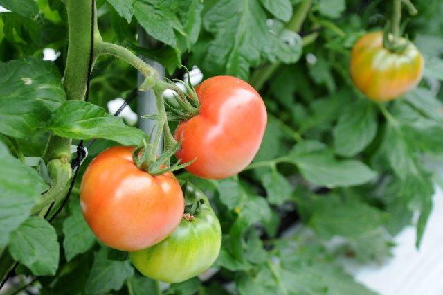 KEKスーパーフルーツトマトの始まり