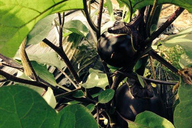 自然栽培で作物を育てる