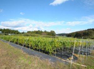 自然薯 栽培