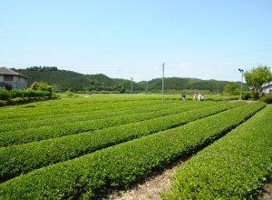 高安園 茶畑