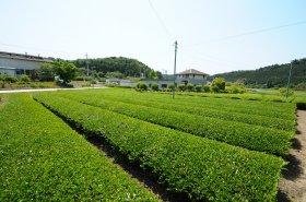 古内茶茶畑