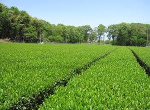 さしま茶 茶畑