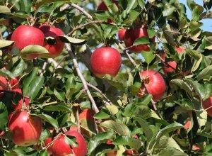 樹上完熟(じゅじょうかんじゅく)りんご