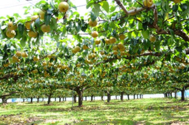 平成25年度農林水産大臣賞を受賞した梨畑