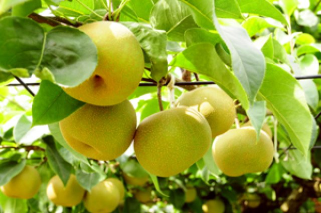 皆藤梨園の梨
