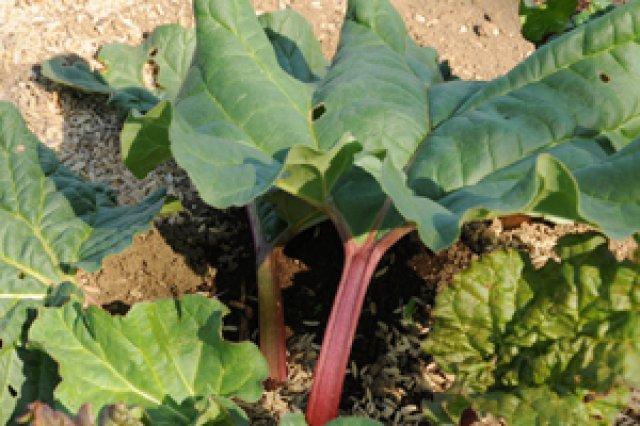 ルバーブの栽培
