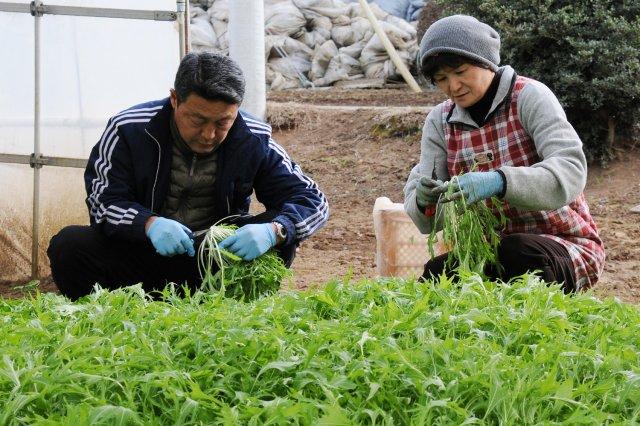 みず菜 収穫作業