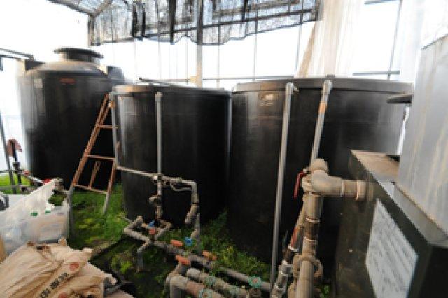 水耕栽培によるトマト作り2