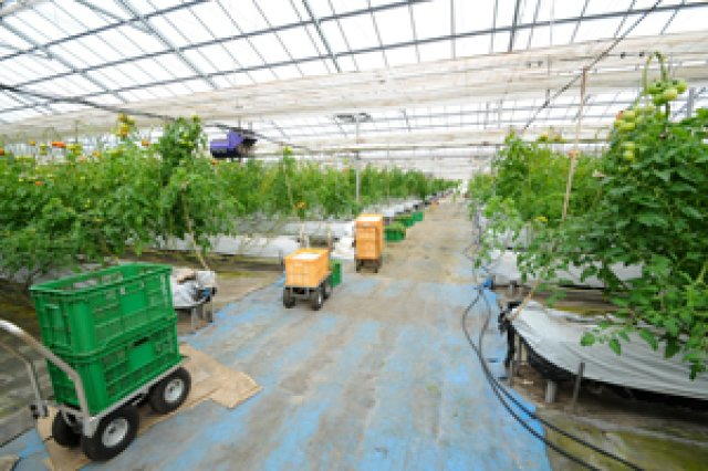 水耕栽培によるトマト作り1
