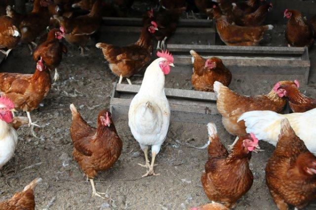 石黒さんと養鶏
