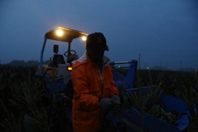 深夜2時から収穫!朝採りトウモロコシ