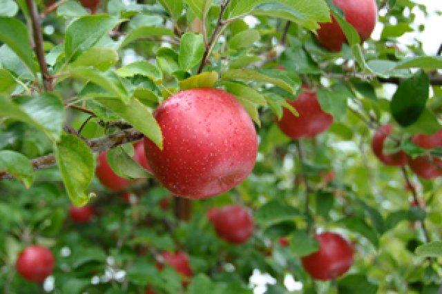 馬とりんごの木