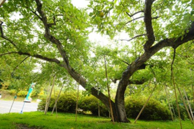 日本一長寿の陸奥の樹