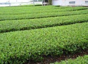 坂入製茶園茶畑2