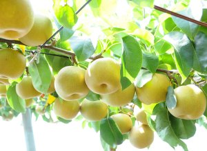 いばらきの秋梨