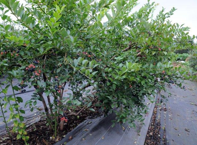 小美玉市ブルーベリー生産組合のブルーベリー畑