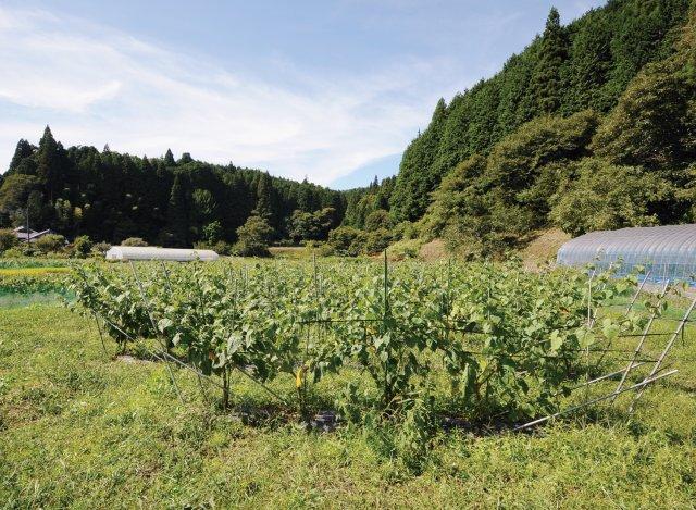 花貫フルーツほおずきの畑