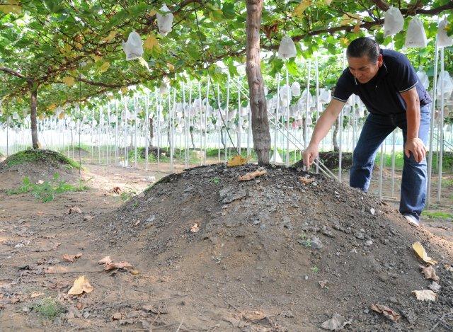 深谷果樹園 盛り土栽培