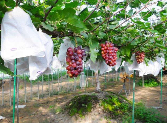 深谷果樹園のぶどう