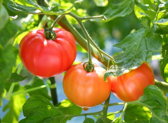 柳田農園のトマト