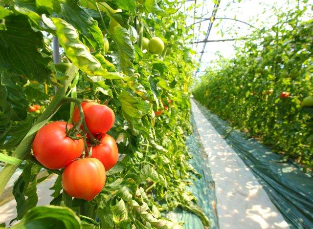 柳田農園のトマトハウス
