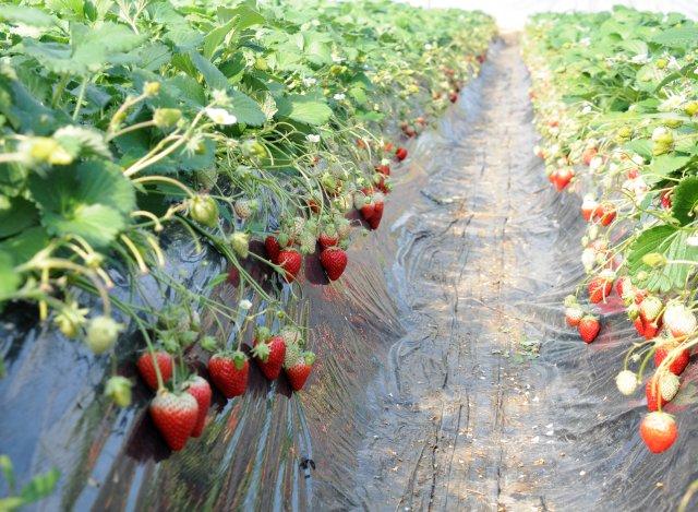 谷中いちご園 いちごの作