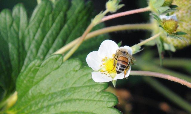 谷中いちご園 ミツバチ