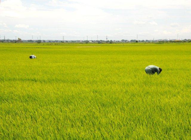 横田農場 草取りの様子