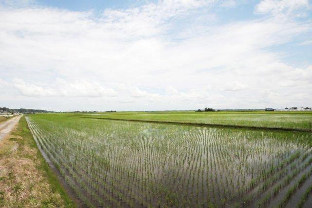 横田農場の田んぼ