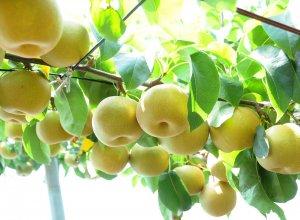 いばらきの秋梨イメージ