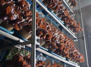 生キクラゲ生産工場