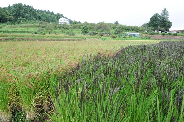 原料の古代米の圃場