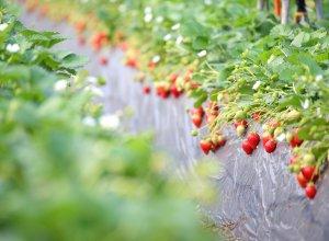 柳田農園のイチゴ畑