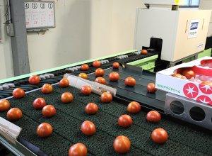 スーパーフルーツトマト光センサー付選果機