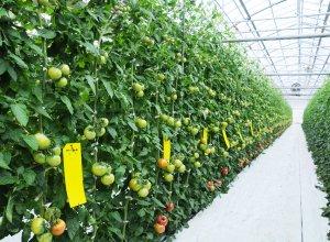 スーパーフルーツトマトの圃場