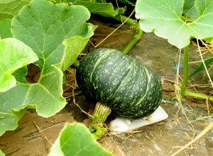 生育途中の江戸崎かぼちゃ