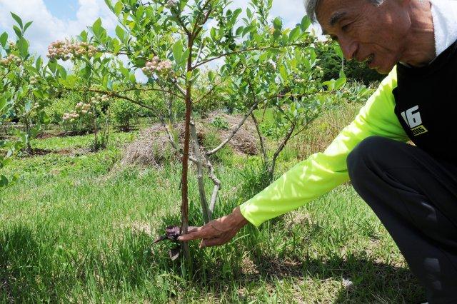 強剪定で4年間は実をつけさせず、強い木を育てる。