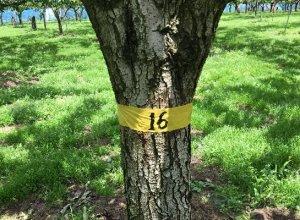 ありのみを生産できる圃場,樹の選定
