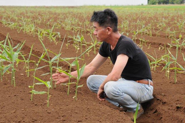 輪作の生姜畑