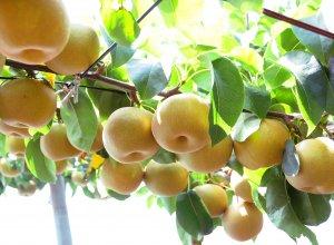 茨城の梨畑