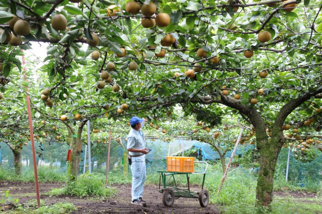 岡野さんの「恵水」の圃場。約50本の恵水の樹があるという。
